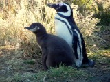 Adult penguin and a chick