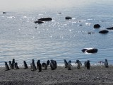 Magellan Penguins on the Otway Sound
